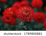 Red Chrysanthemums On A Blurry...