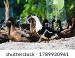 Selective Focus Of Ancona Duck...