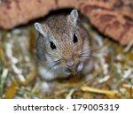 mongolian gerbils  meriones  | Shutterstock . vector #179005319