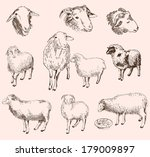 sheep breeding. set of vector... | Shutterstock .eps vector #179009897