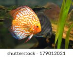 Small photo of Two American cichlids in the aquarium