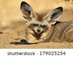 bat eared fox | Shutterstock . vector #179025254