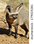 bat eared fox | Shutterstock . vector #179025281