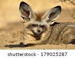 bat eared fox | Shutterstock . vector #179025287
