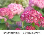 Inflorescences Of Hydrangea...