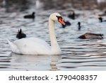 A White Mute Swan  Cygnus Olor...