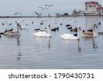 White Swans  Cygnus Olor  Swim...