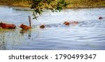 Herd Of Cows Swimming To Cross...