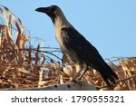 Indian Crow Corvus Splendens ...