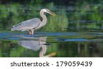 Great Blue Heron Fishing In Th...