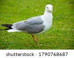 Zoo Concept. Gull Walk In Ital...
