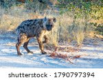 cute baby of Spotted hyena (Hyaena hyaena) in natural habitat moremi game reserve. Botswana Africa safari wildlife - stock photo
