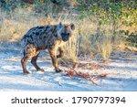 cute baby of Spotted hyena (Hyaena hyaena) in natural habitat moremi game reserve. Botswana Africa safari wildlife - stock photo
