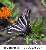 Zebra Swallowtail Butterfly In...