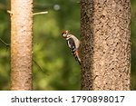 Female Great Spotted Woodpecke...