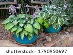 Flower Pots Of Hosta Plants In...