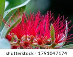 Red Bottlebrush  Latin Name ...