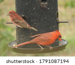 A Beautiful Male Cardinal And A ...