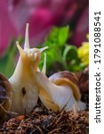 Small photo of Family of snails in the garden. Macro photo. Two snails on the ground. The soil. Blooming greenery. Snails in their natural habitat. Body structure and surface texture of the snail. Summer background.