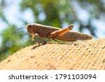 Brown Dead Locusts Broken Legs  ...