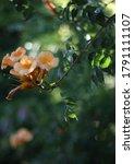 a beautiful southern flower of... | Shutterstock . vector #1791111107
