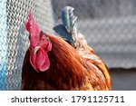 Red Rooster Close Up  Poultry...