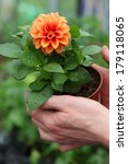 Seedling Of Young Orange Dahlia