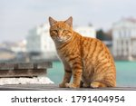 A Red Cat Sits On The...