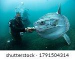 Ocean Sunfish Mola Mola Swimming Underwater in Fish Net
