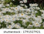 Summer Flowering White Shasta...
