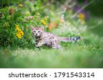 A Cute Spotted Purebred Bengal...