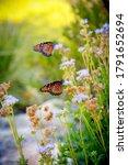 Monarch Butterflies Landing On...