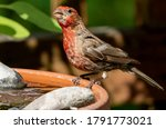 Red House Finch On The Rim Of ...