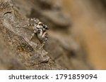 Zebra Spider  Salticus Scenicu...