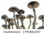 Psilocybin Cubensis Mushroom....