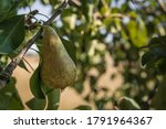Ripe Pear Hanging From The...
