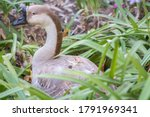 Portrait Of A Swan Goose  Anse...