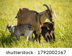 South african boer goat and or...