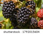 The Blackberries Are Ripening...