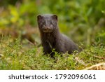 Jung American Mink On Green...