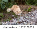 Hunting Red Cat