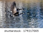 A Pair Of Canada Geese Flying...