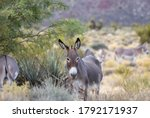 Wild Burros In The Mojave...