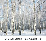 Beautiful Sunny Birch Grove...