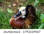 White Faced Whistling Duck ...