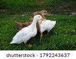 Ducks On The Green Grass. Ducks ...