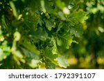 Close Up Acorn In Oak Foliage...