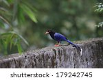 formosan blue magpie or taiwan... | Shutterstock . vector #179242745