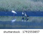 Two Egyptian Geese With Africa...