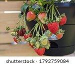 Juicy Homegrown Strawberries...